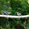 Black and White Warbler vs Chestnut-Sided Warbler