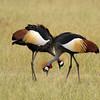 Black Crowned Crane<br /> Balearica pavonina