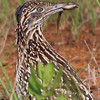 Greater Roadrunner with Lizzard