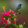 Variable Sunbird<br /> Cinnyris venusta