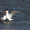 Royal Tern offering fish to mate