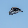 Pied Kingfisher<br /> Ceryle rudis
