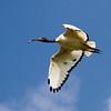 Sacred Ibis<br /> Threskiornis aethiopicus