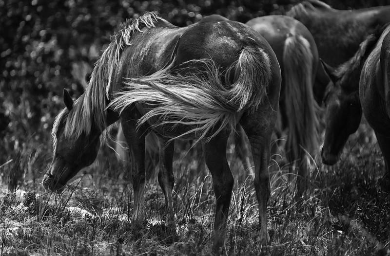 Asseatague Horses