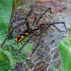Funnel Weave Spider (Agelenopsis species)