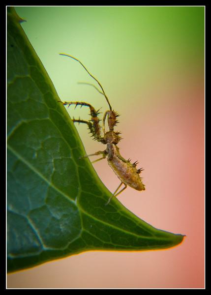 Sinea nymph - Spiny Assasin Bug