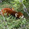 "the ""other"" panda, Chengdu, China"