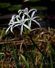 Marsh White Flowers