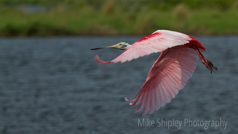 Male Spoonbill over Mosquito