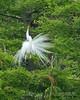 White Egret Showoff 2, Orlando Wetlands Park