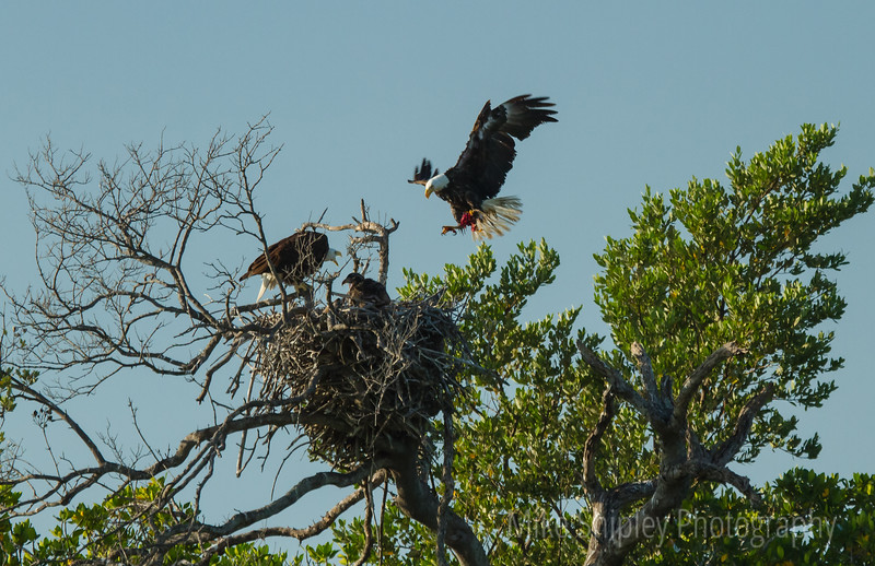 Eagle Female with Dinner, Florida Bay, Everglades NP