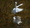 Fighting Snowy Egrets