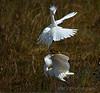 Fighting Snowy Egrets