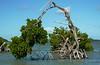 Bent Mangrove, Everglades NP