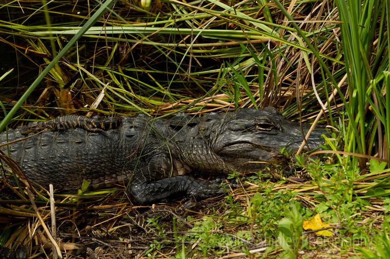 Gator Hatchlings on Mother's Back