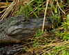 Mother Gator watching over Hatchling