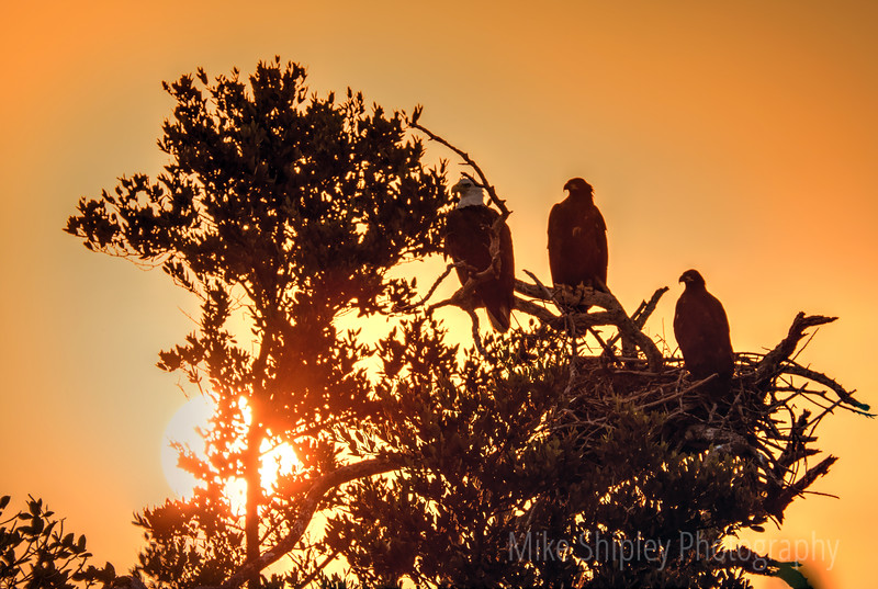 Eagles at Sunset