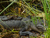 Gator Hatchlings on Mother's Back