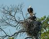 Male Eagle Feeds Chick, Florida Bay, Everglades NP