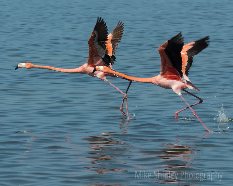 Flamingos at Flamingo 3, CU, Everglades NP