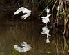 Snowy Egrets Dance