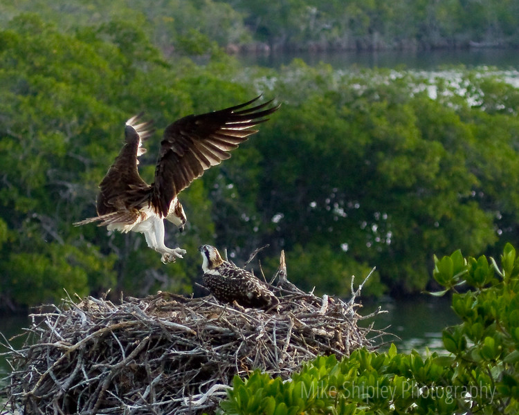 Osprey Mother back Home