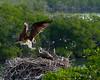 Osprey Mother back Home