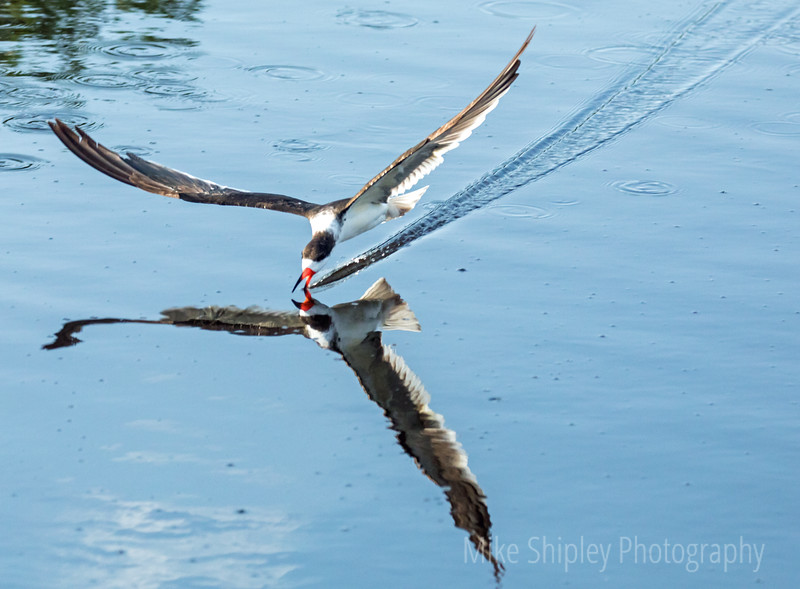 Black Skimmer at Work, Reflection