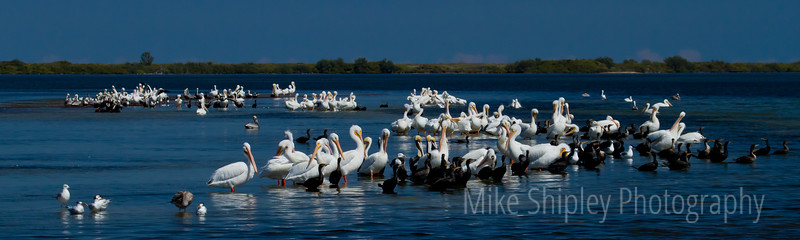 White Pelicans sunning on a Grass Flat