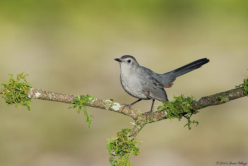 Gray Catbird, Dumetella carolinensis