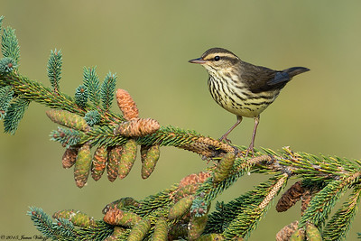 Northern Waterthrush, Parkesia noveboracensis
