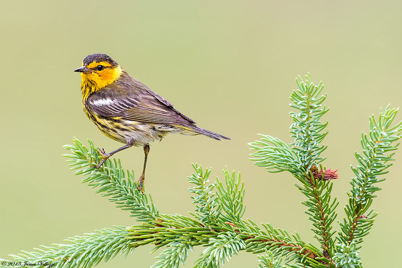 Cape May Warbler, Setophaga tigrina