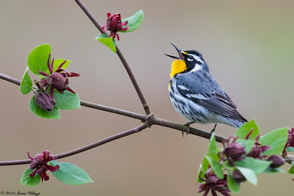 Yellow-throated Warbler, Setophaga dominica