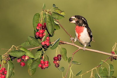 Rose-breasted Grosbeak, Pheucticus ludovicianus