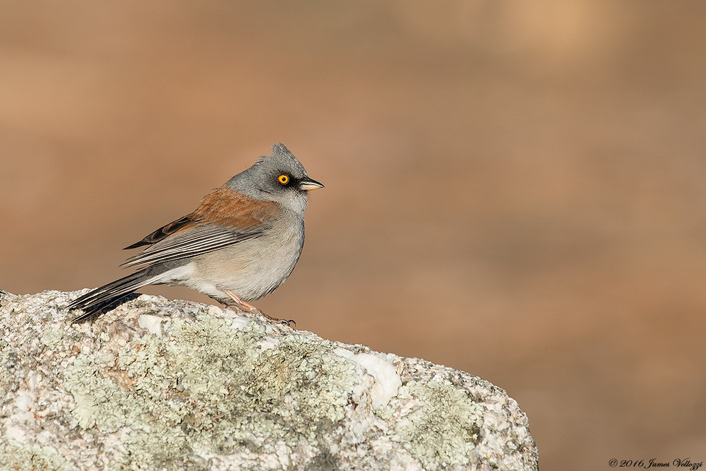 Yellow-eyed Junco, Junco phaeonotus