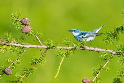 Cerulean Warbler, Setophaga cerulea