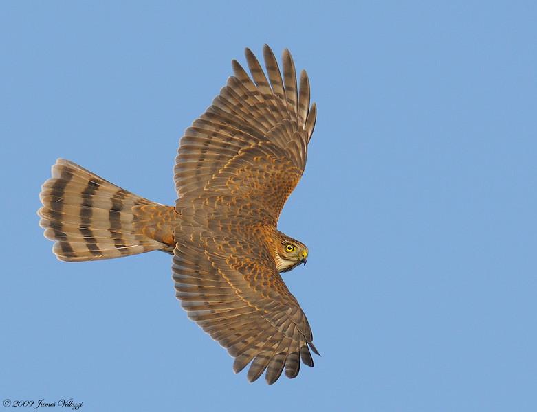 Sharp-shinned Hawk, Accipiter striatus