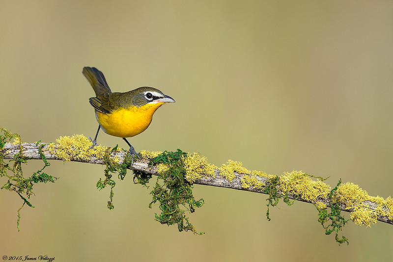Yellow-breasted Chat, Icteria virens