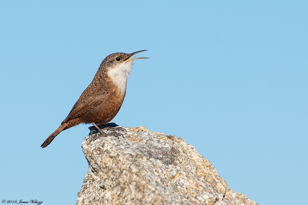 Canyon Wren, Catherpes mexicanus