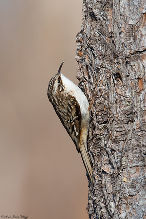 Brown Creeper, Certhia americana