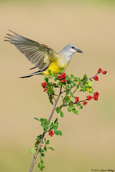 Western Kingbird, Tyrannus verticalis
