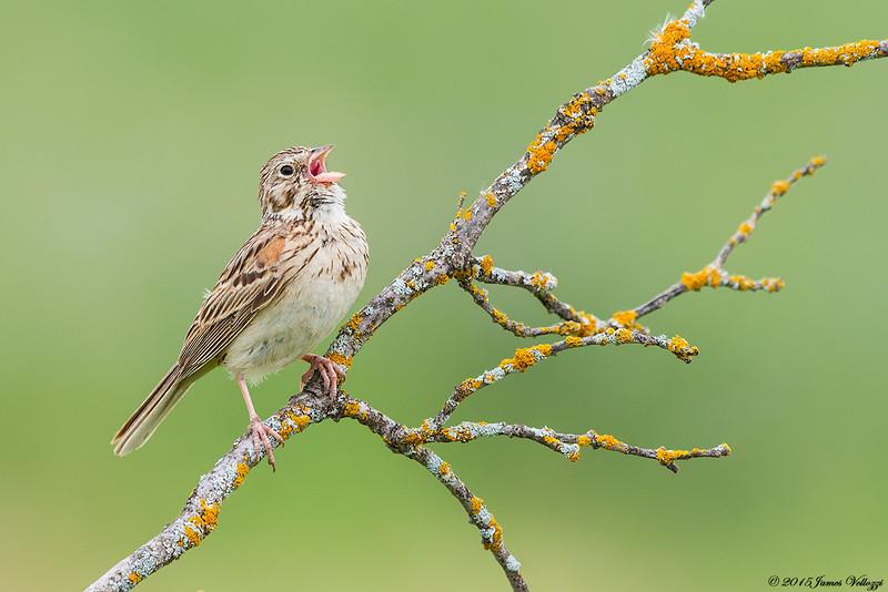 Vesper Sparrow, Pooecetes gramineus