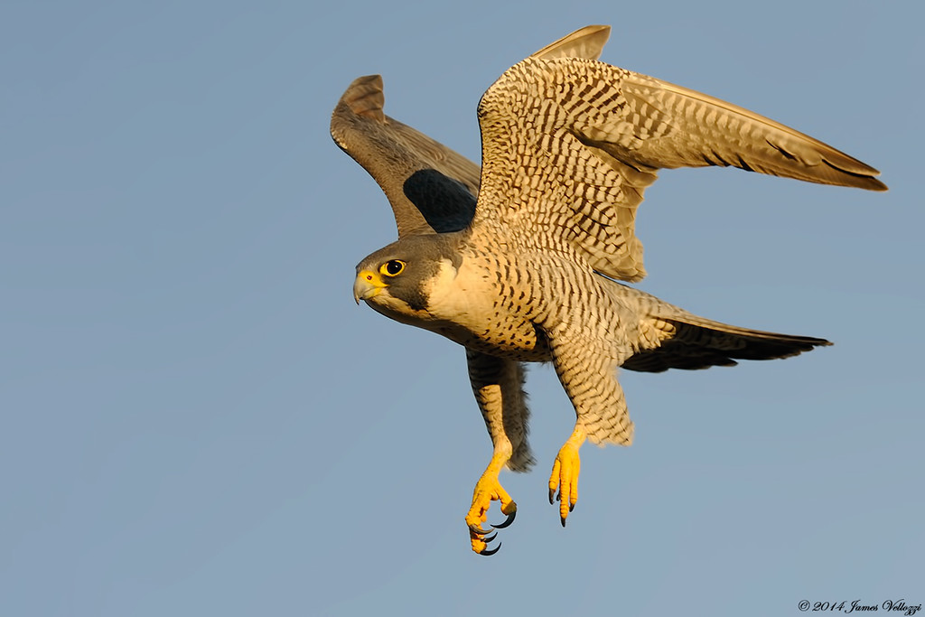 Peregrine Faclon, Falco peregrinus