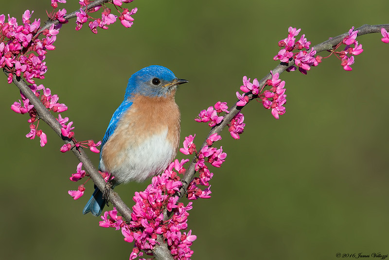 Eastern Bluebird, Sialia sialis