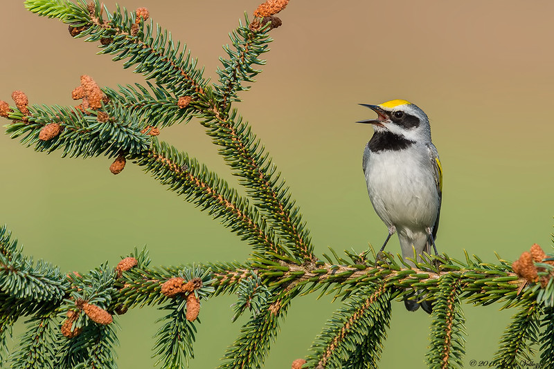 Golden-winged Warbler, Vermivora chrysoptera