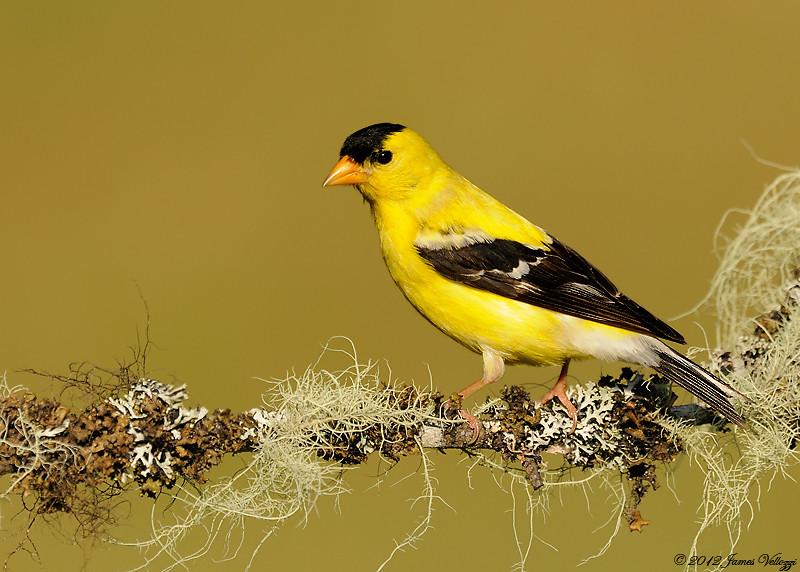 American Goldfinch, Spinus tristis