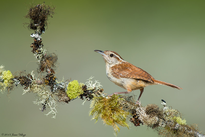 Carolina Wren, Thryothorus ludovicianus
