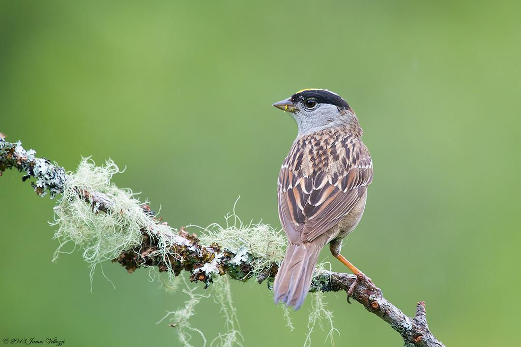 Golden-crowned Sparrow, Zonotrichia atricapilla