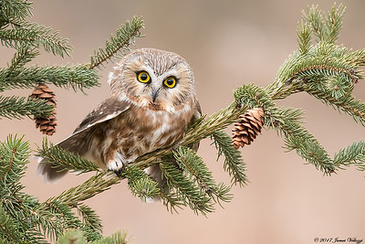 Northern Saw-whet Owl,  Aegolius acadicus