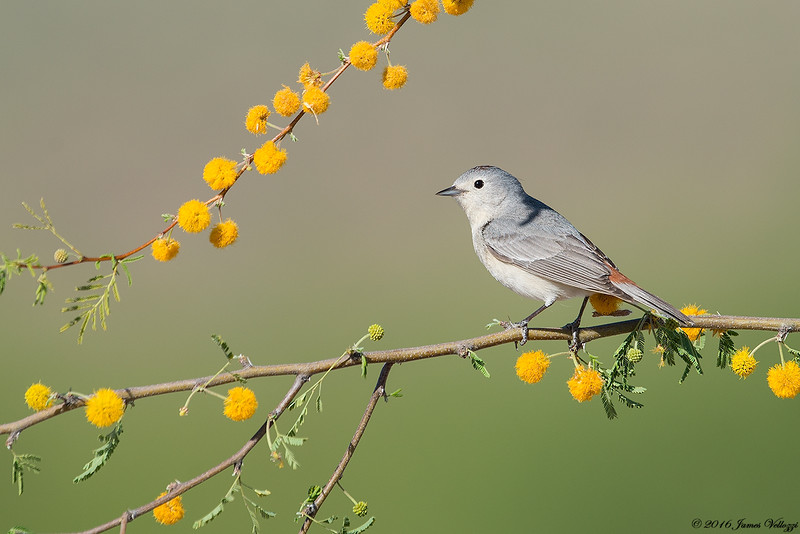 Lucy's Warbler, Oreothlypis luciae